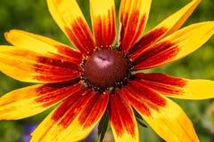 Susan aux yeux noirs (Rudbeckia) Images stock