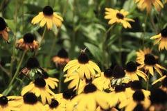 Susan Black-eyed e a abelha Fotos de Stock Royalty Free