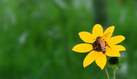 Susan Blackeyed, girasol con la abeja foto de archivo libre de regalías