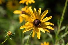 Susan Bloom observada negro y abeja minúscula en Sunny Day Imagen de archivo