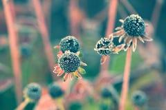 Susan de olhos pretos murchada congelada - vintage, desvanecido Imagens de Stock Royalty Free