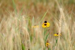 Susan de olhos pretos no campo de trigo gramíneo Fotografia de Stock Royalty Free