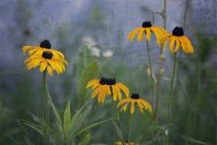 Susan Flowers Blue Background osservata il nero immagine stock