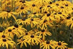 Susan Flowers Negro-observada, hirta del Rudbeckia Imagen de archivo