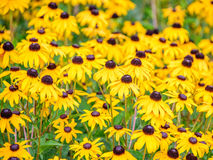 Susan Flowers Rudbeckia de olhos pretos 2 Imagem de Stock Royalty Free