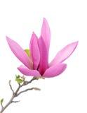 Susan magnoliowy kwiat Obrazy Stock