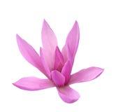 Susan magnoliowy kwiat Fotografia Stock