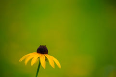 Susan Wildflower de olhos pretos Fotos de Stock