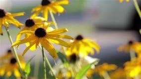 Susans наблюданное чернотой в саде сток-видео