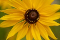 Susans Black-Eyed Foto de Stock