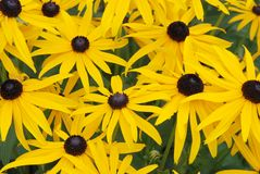 Susans Black-Eyed Fotografia de Stock Royalty Free