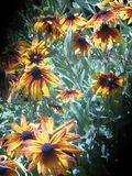 Susans Black-Eyed Photos stock