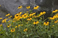 Susans Black-Eyed Immagine Stock