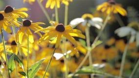 Susans de olhos pretos em um jardim vídeos de arquivo
