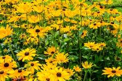 Susans de olhos pretos - flores Fotografia de Stock