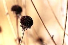 Susans de olhos pretos no inverno Sun Fotografia de Stock Royalty Free