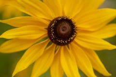 susans eyed чернотой Стоковое Фото