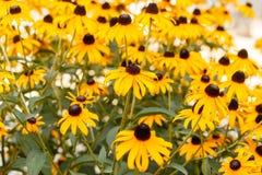 Susans Negro-observado en la floración Foto de archivo libre de regalías