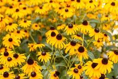 Susans Negro-observado en la floración Imagen de archivo libre de regalías