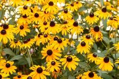 Susans Negro-observado en la floración Imágenes de archivo libres de regalías