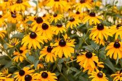 Susans Negro-observado en la floración Fotografía de archivo