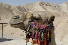 Sushi the Camel. This camel is riden daily by tourists headed to the Dead Sea and Jericho. He is located in front of the Sea Level sign on the main highway Royalty Free Stock Image