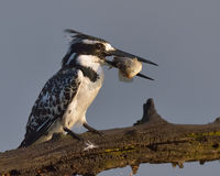 Sushi. Pied Kingfisher with small fish in beak at Pilanesberg Nature Reserve Stock Photo