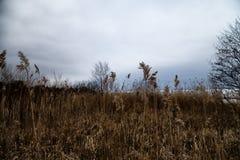 Susi żółci ucho i gress w chmurnym jesień dniu zdjęcie stock