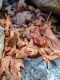 Susi Brown liście na skałach zdjęcia stock
