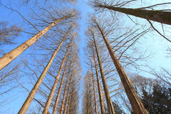 Susi drzewa z niebieskim niebem Zdjęcie Royalty Free
