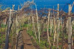 Susi gronowi winogrady w wiośnie zdjęcia stock