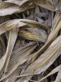 Susi kukurudza badyle z cob Obraz Royalty Free