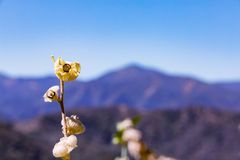 Susi kwiatów pączki Obraz Royalty Free
