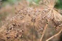 Susi kwiatostany koperkowi brown parasole zdjęcia stock