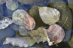 Susi liście brązu, różowych i złotych odcienie, kłamają w delikatnej błękitnawej wodzie na zielonawych kamieniach, jesień Fotografia Royalty Free
