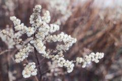 Susi puszyści ziele Zdjęcie Royalty Free