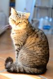 Susi Q our golden girl. Susi Q little lovely cat sitting in the evening sun being pretty stock photos