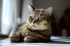 Susi Q relaxing cat stock image