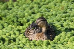Susie mallard just relaxing in the vegetation Stock Images