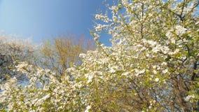 Susino caucasico del fiore a primavera Movimento lento, punto di vista basso grandangolare video d archivio