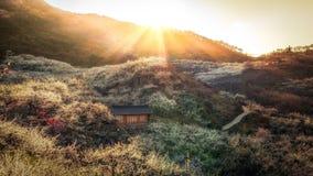 Susnet sopra il villaggio del fiore della prugna Fotografie Stock