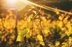 Susnset d'or dans des vignobles de Lavaux photo libre de droits