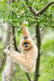 Suspended gibbon. A suspended gibbon on the tree royalty free stock images