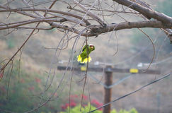 Suspended Parrot. A wild parrot grasps a single tree branch and dangles in the air peeking at the observer Stock Image