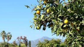 Suspensão alaranjada madura de Califórnia na árvore com San Gabriel Mountains como o fundo video estoque