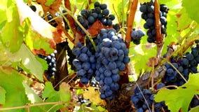 Suspensão azul das uvas pronta para ser colhido filme