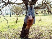 Suspensão da menina de cabeça para baixo em uma árvore Imagem de Stock Royalty Free