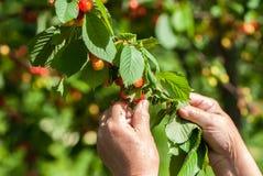 Suspensão das cerejas doces Imagens de Stock Royalty Free