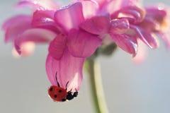 Suspensão do joaninha de cabeça para baixo na pétala roxa da flor imagens de stock