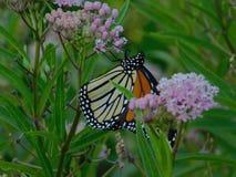 Suspensão do monarca imagem de stock